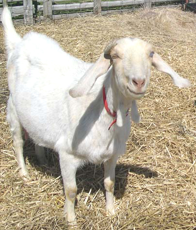 Stevie the one-eyed goat - the best milker I ever had!